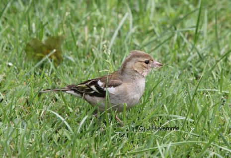 Buchfink (Fringilla coelebs) Weibchen [Juli]