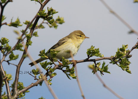 Fitis (Phylloscopus trochilus) Männchen und Weibchen gleich gefärbt  Der Vogel im Bild wurde anhand des vorangegangenen Gesangs als Männchen identifiziert [April]