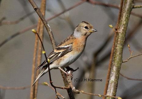 Bergfink (Fringilla montifringilla) Weibchen [Februar]