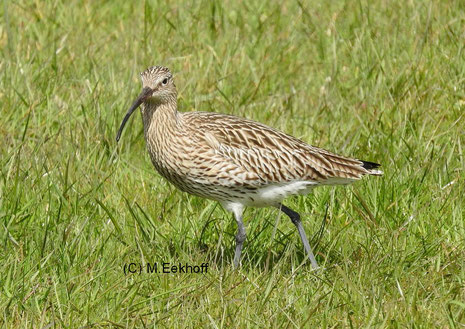 Großer Brachvogel (Numenius arquata) Adulter Vogel (Ochsenmoor, Nähe Dümmer See, NS) [April]