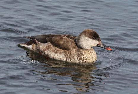 Kolbenente (Netta rufina) Weibchen auf dem Laacher See [März]