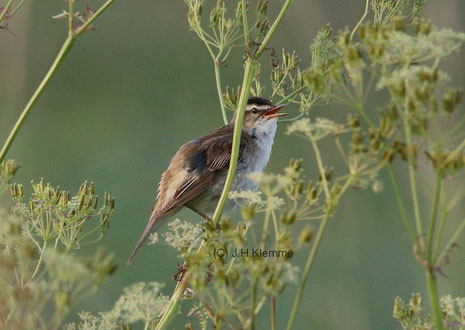 Schilfrohrsänger (Acrocephalus schoenobaenus) Singendes Männchen (Nähe Dümmer See, NS) [Juni]