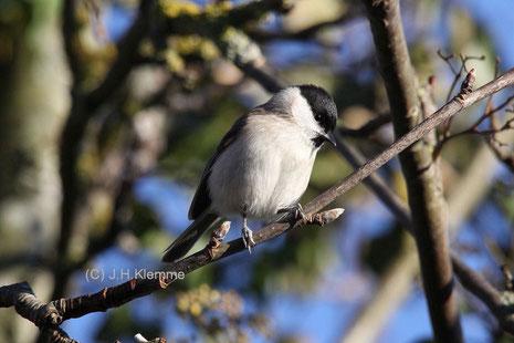 Sumpfmeise (Poecile [Parus] palustris) Adulter Vogel (im 1. Frühjahr ?) [März]