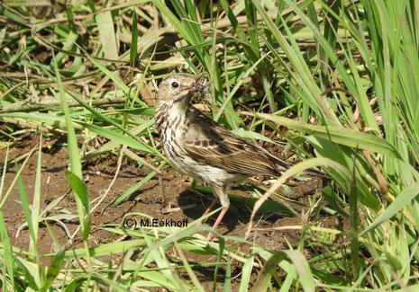 Wiesenpieper (Anthus pratensis) Adulter Vogel mit Futter [Mai]