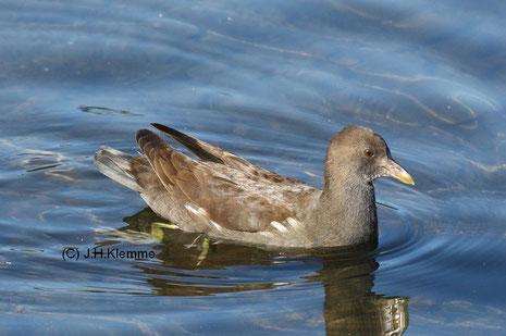 Teichhuhn (Gallinula chloropus) Altvogel mit einem wenige Tage altem Küken (Stadtpark von Rheinbach, NRW) [Juni]