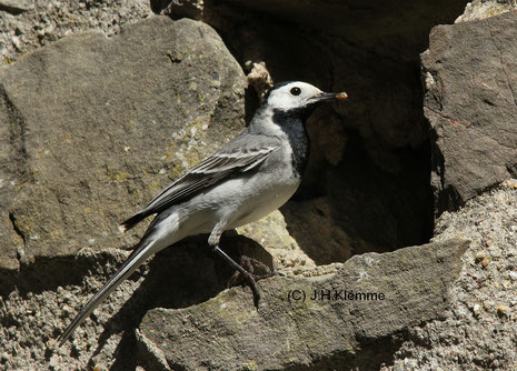 Bachstelze (Motacilla alba)  Weibchen an der Nisthöhle [Mai]