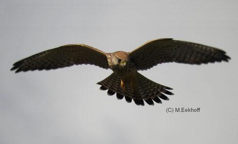 Turmfalke (Falco tinnunculus) adultes (?) Weibchen [September]