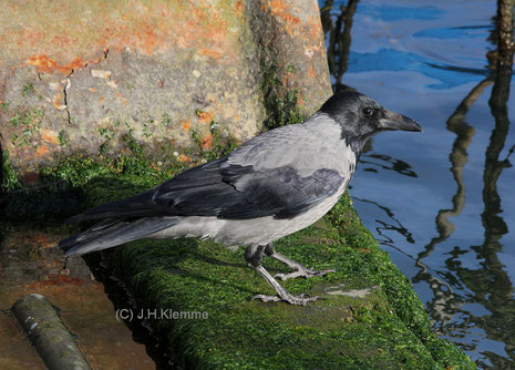 Nebelkrähe (Corvus corone cornix) adulter Vogel, Sassnitz (Rügen) [Oktober]