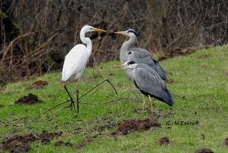 Begegnung zwischen Silberreiher (Casmerodius albus) und zwei Graureihern (Ardea cinerea). Nähe Dümmer See (NS) [Februar]