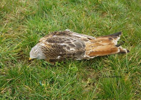 Rotmilan (Milvus milvus) Ein wahrscheinlich mit Giftköder getöteter Vogel auf einer Wiese bei Rheinbach (NRW)