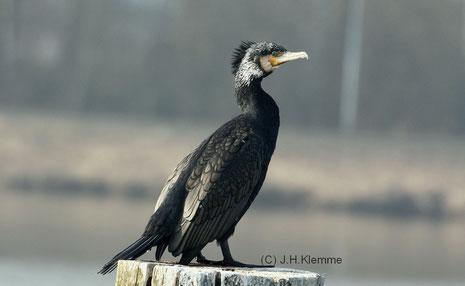 Kormoran (Phalacrocorax carbo) Adulter Vogel. Vechte-See, Nordhorn (Niedersachsen) [März]