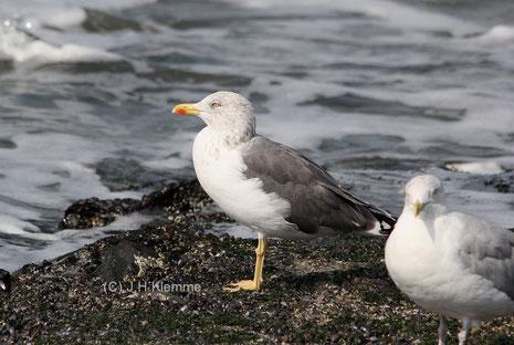 "Heringsmöwe (Larus fuscus) Adulter Vogel (Subsp. ""graellsii"" ?) an der Küste von Westkapelle, NL  [September]"