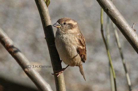 Haussperling (P. domesticus) Weibchen [Mai]