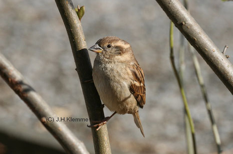 Haussperling (Passer domesticus) Weibchen [März]