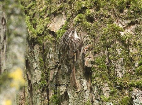 Gartenbaumläufer (Certhia brachydactyla) adulter Vogel [Mai]