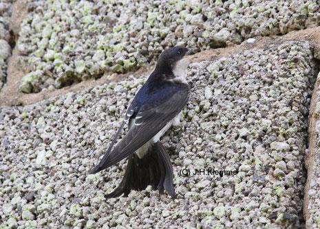 Mehlschwalbe (Delichon urbicum) Adulter Vogel [Juli]