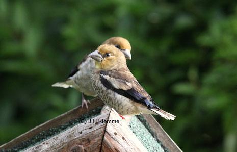 Kernbeißer (Coccothraustes coccothraustes) Noch unselbständige Jungvögel [Anfang Juni]