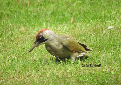 Grünspecht (Picus viridis) adultes Weibchen [Mai]
