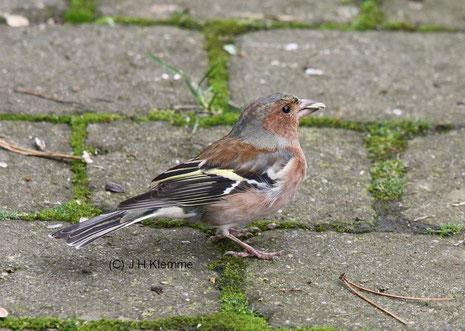 Buchfink (Fringilla coelebs) Männchen, Übergangskleid [März]