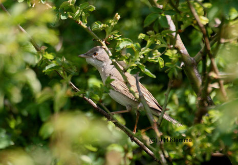Dorngrasmücke (Sylvia communis) adulter Vogel (Weibch. ?) [Mai]