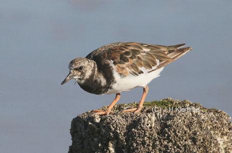 Steinwälzer (Arenaria interpres) Adulter Vogel im Übergangskleid (Küste bei Zoutelande, NL) [September]