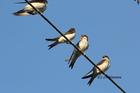Mehlschwalbe (Delichon urbicum) Selbständige Jungvögel auf Stromleitung [Juli]