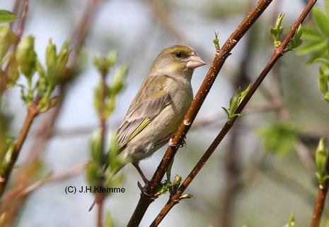Grünfink (Carduelis chloris) Weibchen [Mai]