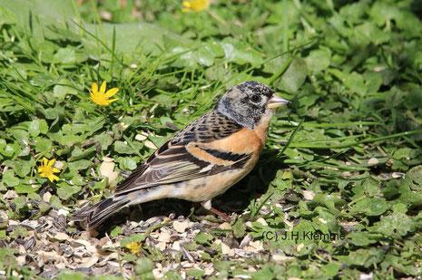 Bergfink (Fringilla montifringilla) Männchen im Schlichtkleid [Ende September]