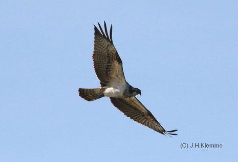 Fischadler (Pandion haliaetus) adulter (?) Vogel auf dem Herbstzug über dem Rodder Maar [September]