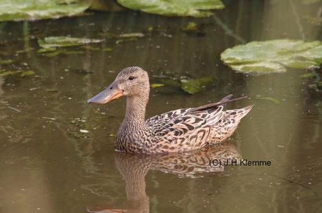 Löffelente (Anas clypeata) Jungvögel und Weibchen, Nähe Dümmer See [Juni]