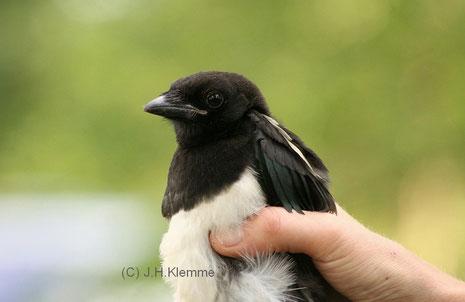 Elster (Pica pica) Ein durch Straßenverkehr verletzter Jungvogel [Juni]