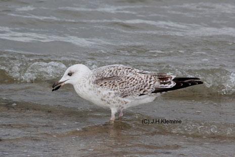Silbermöwe (Larus argentatus) Vogel im 2. Jahr an der Küste bei Zoutelande, NL [September]