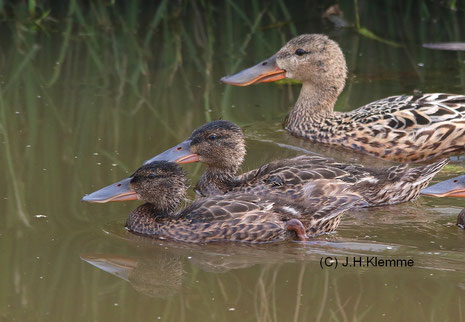 Löffelente (Anas clypeata) Weibchen mit Jungvögeln. Nähe Dümmer See [Juni]