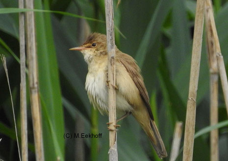 Teichrohrsänger (Acrocephalus scirpaceus) Adulter Vogel [Juni]
