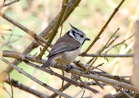 Haubenmeise (Parus [Lophophanes] cristatus) Adulter Vogel [März]