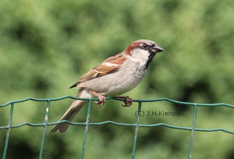 Haussperling (Passer domesticus) Männchen im Schlichtkleid [November]