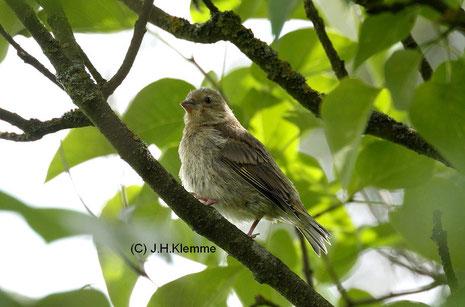 Grünfink (Carduelis chloris) noch unselbständiger Jungvogel [Juni]