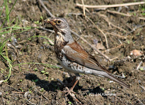 Wacholderdrossel (Turdus pilaris) selbständiger Jungvogel (Gefieder entspricht weitestgehend dem Adultkleid) [Juni]