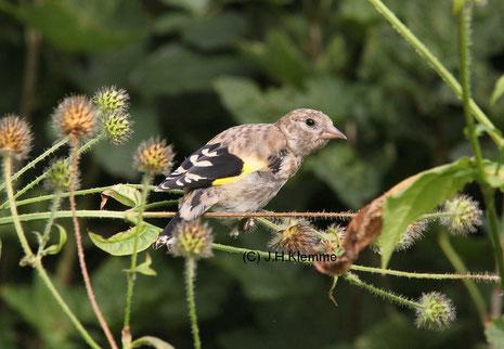 Stieglitz (Carduelis carduelis) Selbständiger Jungvogel [September]