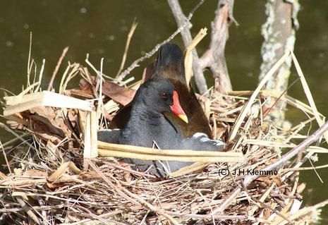 Teichhuhn (Gallinula chloropus), Altvogel (Küken im Hintergrund) [Juni]