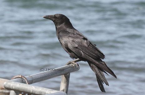 Rabenkrähe (Corvus c. corone) Adulter Vogel. Uferbereich des Laacher Sees (RLP) [Juni]