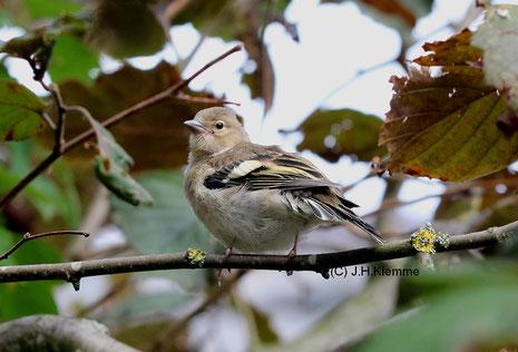 Buchfink (Fringilla coelebs) noch nicht selbständiger Jungvogel [August]
