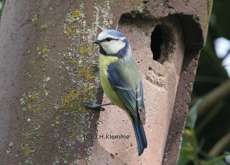 Blaumeise (Cyanistes [Parus] caeruleus) Männchen am Nistkasten [März]