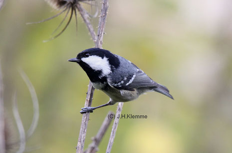 Tannenmeise (Periparus [Parus] ater) Adulter (?) Vogel [Oktober]
