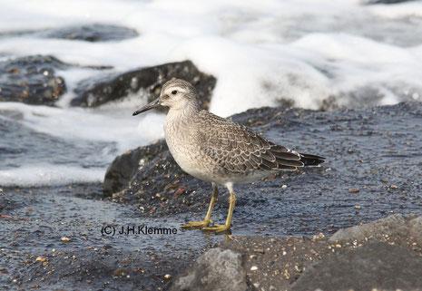 Knutt (Calidris canutus) Selbständiger Jungvogel, Küste bei Westkapelle (NL) [September]