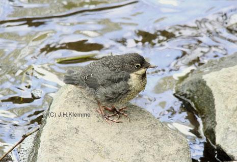Wasseramsel (Cinclus cinclus) Flügger, aber noch unselbständiger Jungvogel [April]