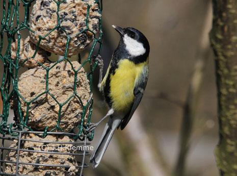 Kohlmeise (Parus major) junges (?) Männchen [September]