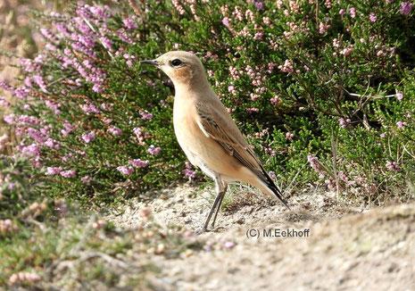 Steinschmätzer (Oenanthe oenanthe) selbständiger Jungvogel [August]