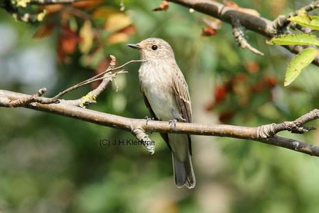 Grauschnäpper (Muscicapa striata) Adulter Vogel [Juli]