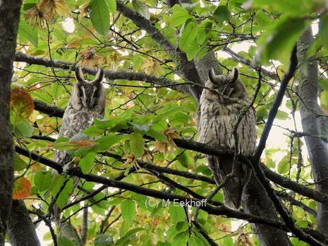 Waldohreule (Asio otus) Vögel (Adultkleid) am Tagesschlafplatz [Oktober]